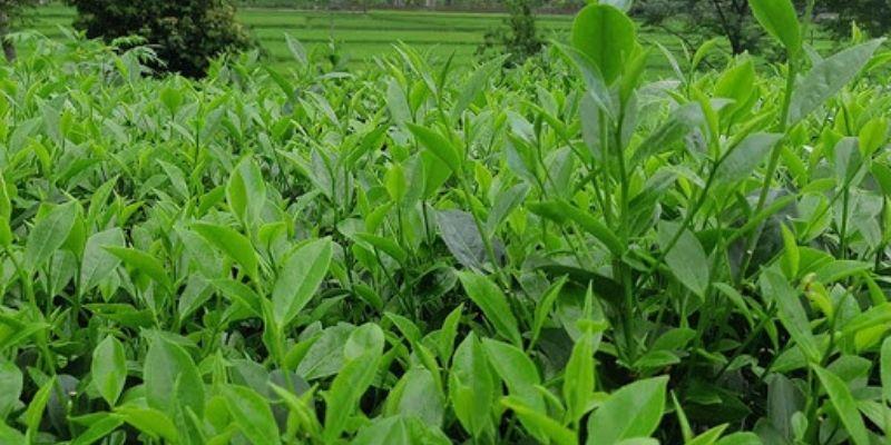 Seaweed Extract Giúp Kích Thích Sinh Trưởng Cây Trồng.