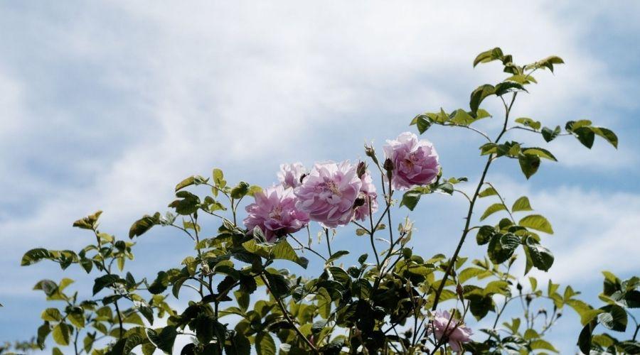 Grasse - Thủ Phủ Của Những Loài Hoa